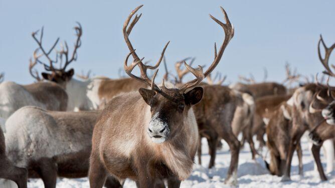 Pastwiska skuwa lód, renifery głodują i przymarzają. Zginęło 250 z nich