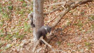 Zabawa niedźwiadków w lesie w Bieszczadach