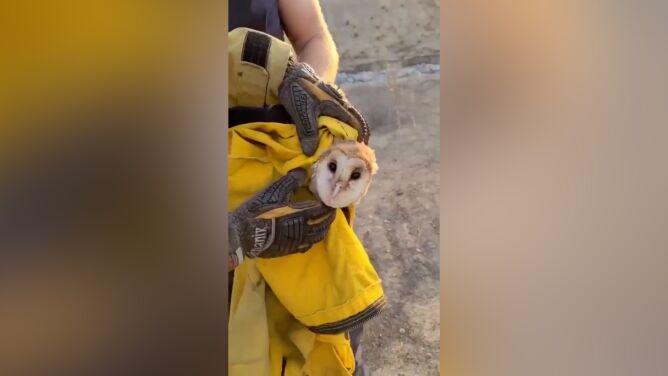 """Sowa uratowana z pożaru. """"Zwierzę jest bezpieczne i zdrowe"""""""